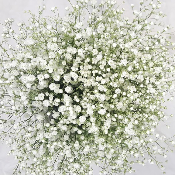 Babysbreath Grower Bunches