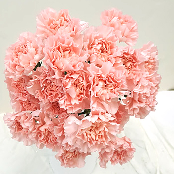Pink Carnation Grower Bunches